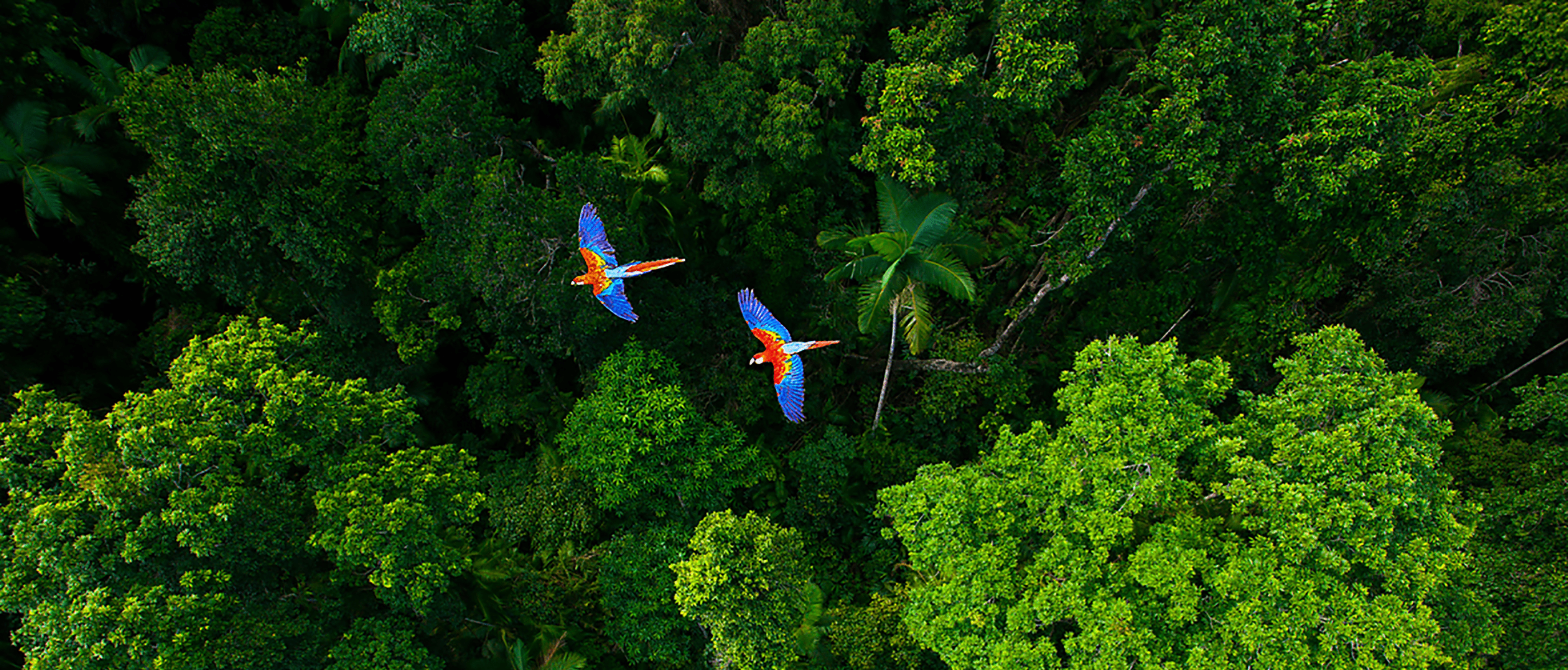 An ariel view over a dark green canopy of trees with two Festive Amazon Blue and Yellow Macaws flying across the middle.